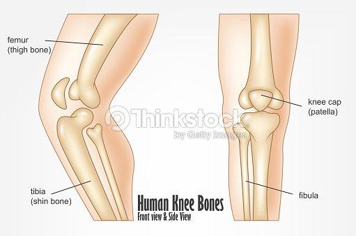 Menschliches Knie Knochen Vorder Und Seitenansicht Anatomie ...