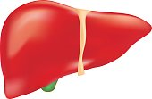 Human Liver Anatomy Isolated On A White Background. Realistic Vector Illustration. Medicine.