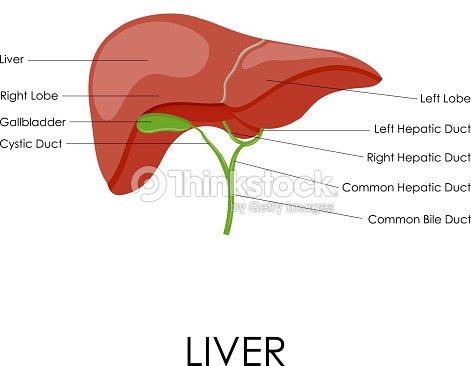 Anatomie Der Menschlichen Leber Vektorgrafik | Thinkstock
