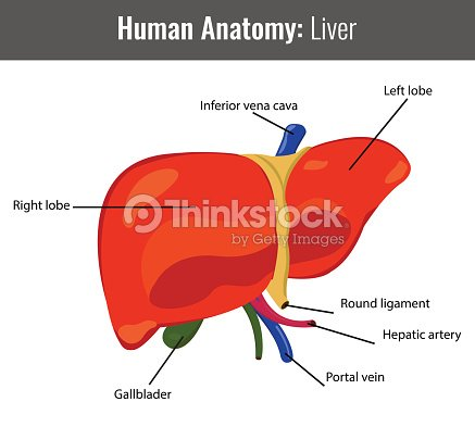 Human Liver Detailed Anatomy Vector Medical Vector Art | Thinkstock