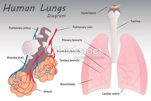 Human Lungs Diagram Vector Art Thinkstock