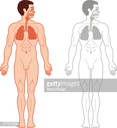 human lungs vector art | getty images, Cephalic Vein