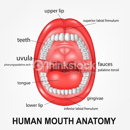 Human Mouth Anatomy Open Mouth With Explaining Vector Art Thinkstock