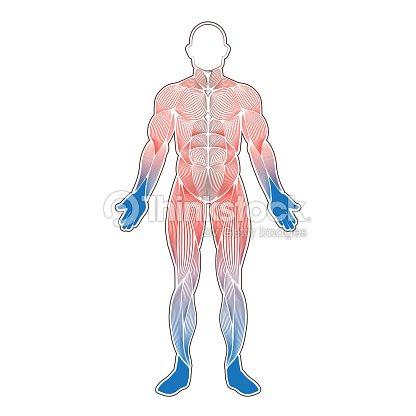 Menschliche Muskeln Kalt Vektorgrafik | Thinkstock