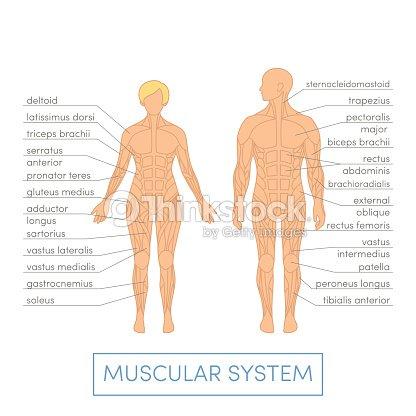 Menschlicher Muskelsystem Vektorgrafik | Thinkstock