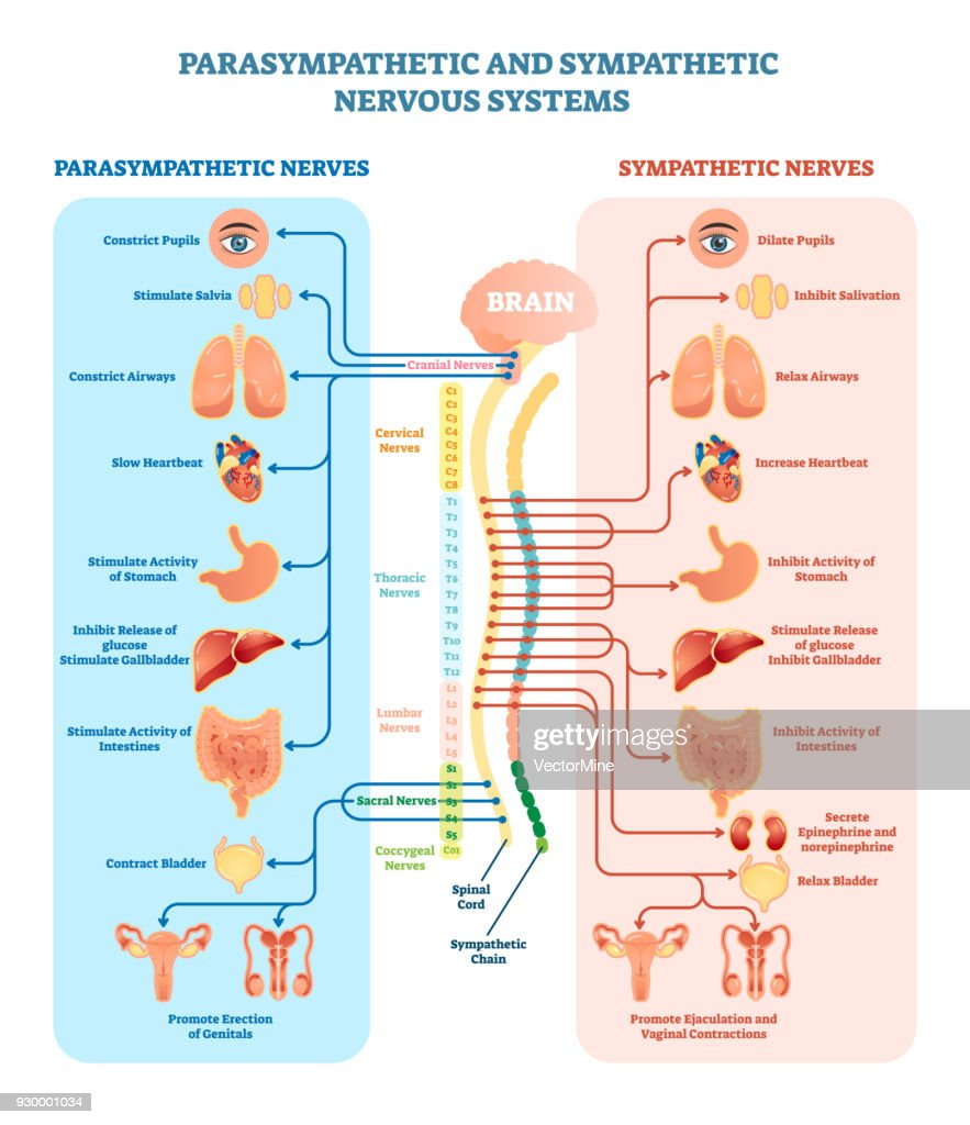 human nervous system medical vector illustration diagram with and vector id930001034?s=170667a&w=1007 human nervous system medical vector illustration diagram with