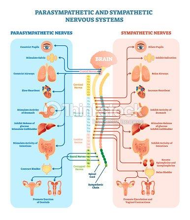 Menschlichen Nervensystem Medizinische Illustration Zeigerdiagramm ...
