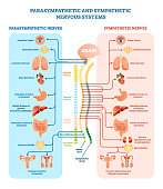 Human nervous system medical vector illustration diagram with parasympathetic and sympathetic nerves and all connected inner organs through brain and spinal cord. Educational information complete guid
