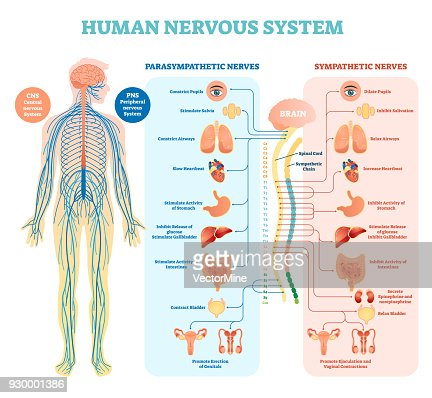 Human nervous system medical vector illustration diagram with parasympathetic and sympathetic nerves and all connected inner organs. : stock vector