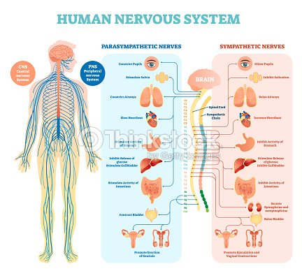 Human nervous system medical vector illustration diagram with human nervous system medical vector illustration diagram with parasympathetic and sympathetic nerves and all connected inner ccuart Images