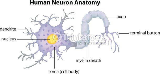 Human Neuron Anatomy Vector Art | Thinkstock