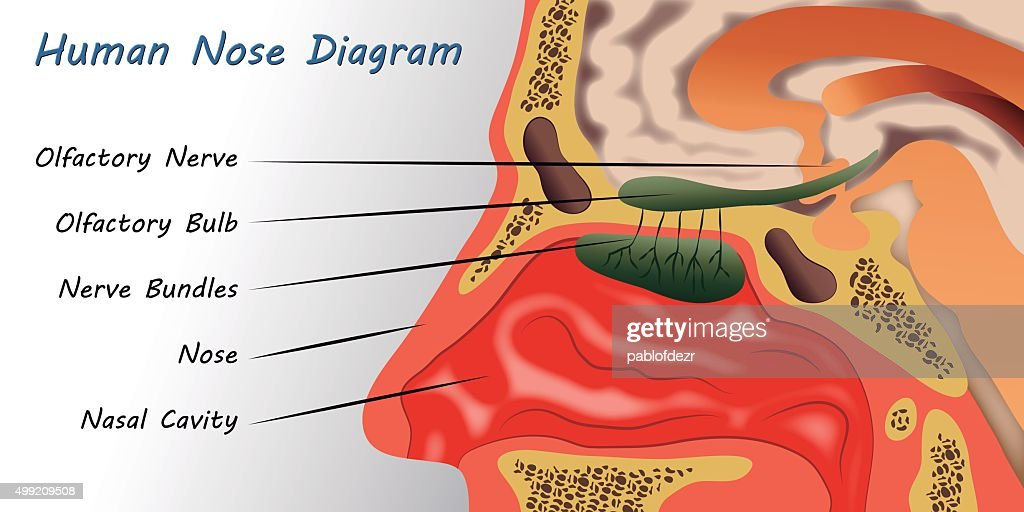 Inside Human Nose Diagrams - Car Wiring Diagrams Explained •