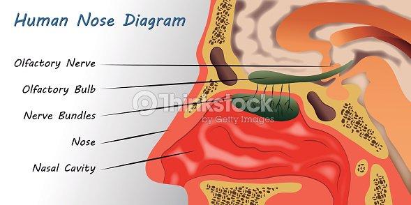 Human Nose Diagram Vector Art Thinkstock