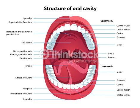 Menschlichen Offenem Mund Und Mundhöhle Anatomie Strukturmodell Mit ...