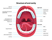 Structure of oral cavity. Human mouth anatomy model with captions. Infographic design for educational poster. Open mouth anatomy and dentistry. Flat style isolated vector visual aid illustration