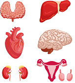 Human organ anatomy cartoon icon set with internal organ and body system. Heart, brain and liver, kidney, thyroid and female reproductive system with ovary for medicine and healthcare themes design