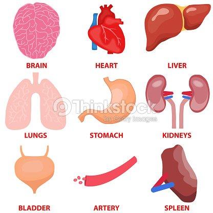 Órganos Humanos Un Conjunto De órganos Internos Del Hombre Medicina ...