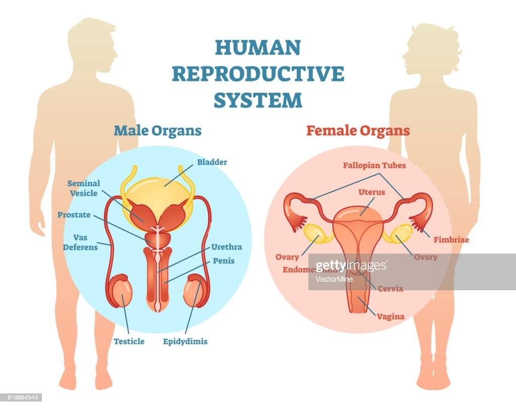 Diagram Male And Female Reproductive System - Block And Schematic ...