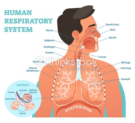 Human respiratory system anatomical vector illustration medical human respiratory system anatomical vector illustration medical education cross section diagram with nasal cavity ccuart Choice Image