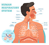 Human Respiratory System anatomical vector illustration, medical education cross section diagram with nasal cavity, throat, esophagus, trachea, lungs and alveoli.