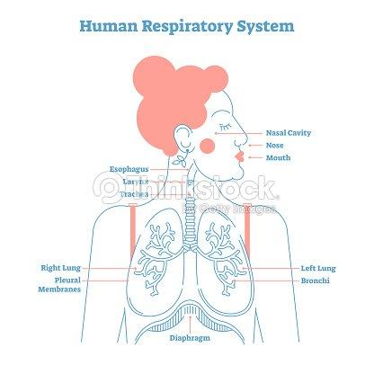 Human Respiratory System Anatomical Vector Illustration Medical