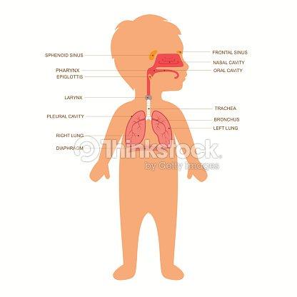 Human Respiratory System Anatomy Vector Art Thinkstock