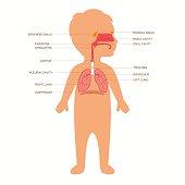 human respiratory system anatomy, child vector medical nose illustration