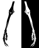 human skeleton hand hanging down - limb bone structure black and white vector design set