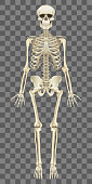 Human skeleton isolated on white photo-realistic vector illustration