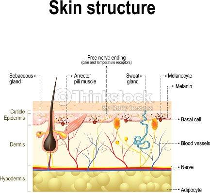 Human Skin Anatomy Vector Art Thinkstock