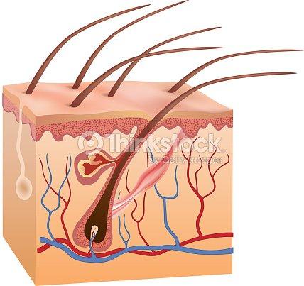 Human Skin And Hair Anatomy Vector Art Thinkstock