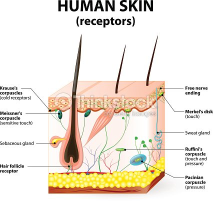 Human Skin Layer Vector Cross Section Vector Art Thinkstock