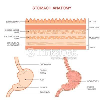 Human Stomach Anatomy Vector Art | Thinkstock