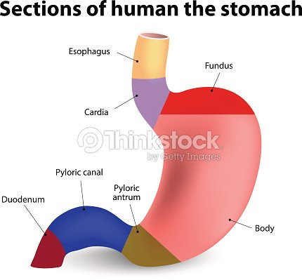 Estómago Humano Arte vectorial | Thinkstock