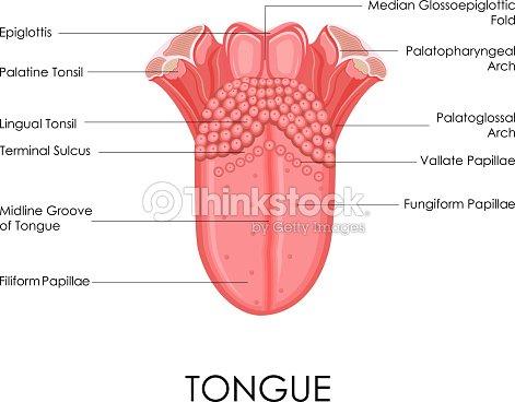 Menschliche Zunge Anatomie Vektorgrafik   Thinkstock