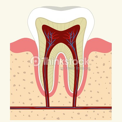 Menschlicher Zahn Und Gum Anatomie Vektorgrafik   Thinkstock