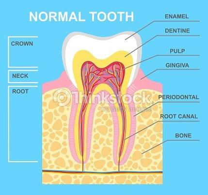 Menschlichen Zahn Diagramm Vektorgrafik | Thinkstock