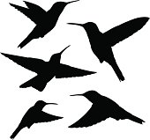set of five detailed black hummingbird silhouettes isolated on white