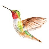 Hummingbird Isolated On White Background, Bird Watercolor Painting, Vector Illustration.
