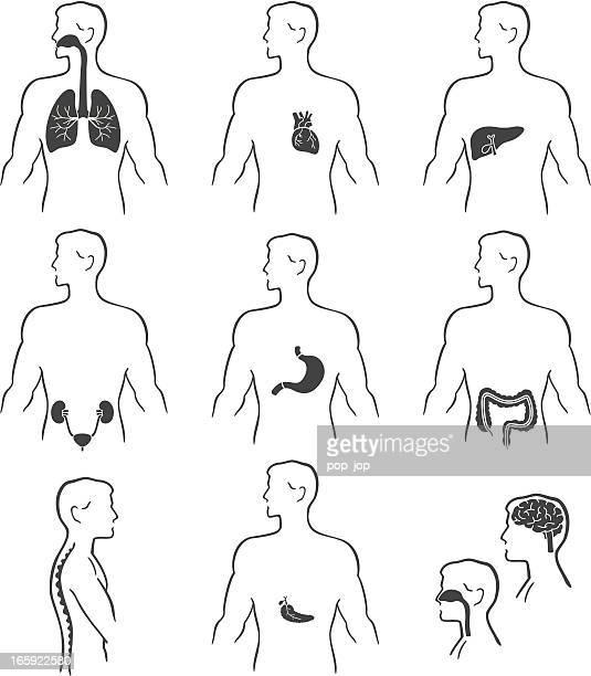 Illustrations of various human organs
