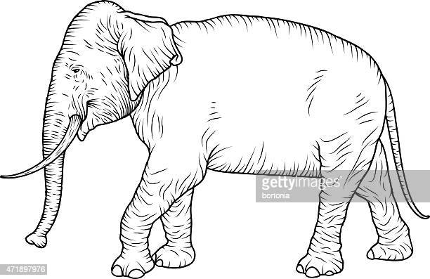 Indian Elephant Line Drawing Asian Elephant Vector ...