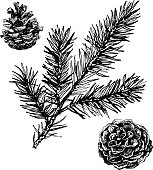 Pine cones and coniferous branch drawing isolated on white background. Ink illustration in vintage engraved style.