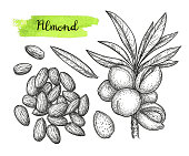 Ink sketch of almond. Hand drawn vector illustration. Isolated on white background. Retro style.