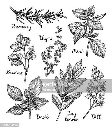 Ink sketch of herbs : Vector Art