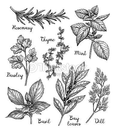 Ink sketch of herbs : stock vector