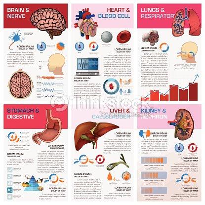 Interne Menschliche Organ Gesundheit Und Medizinische Diagramm ...