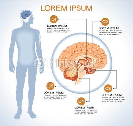 Interne Menschliche Organ Hypothalamus Vektorgrafik   Thinkstock