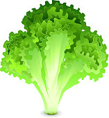 Green salad leaves isolated on white photo-realistic vector illustration
