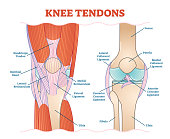Knee Tendons medical vector illustration scheme, anatomical diagram. Educational information.