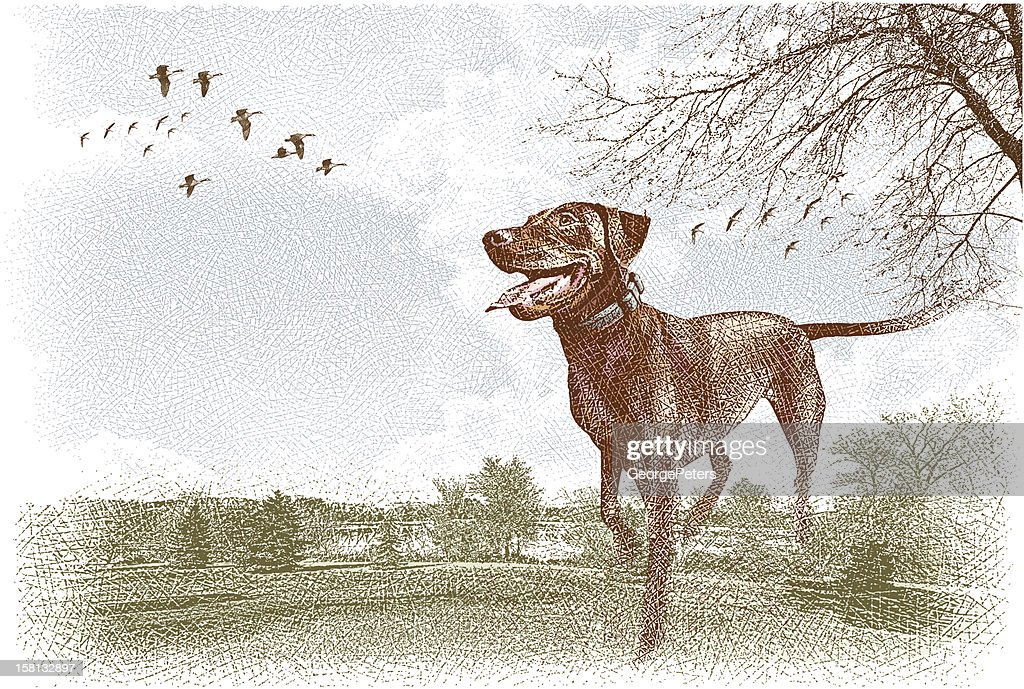 Labrador Retriever Outdoors : Vector Art